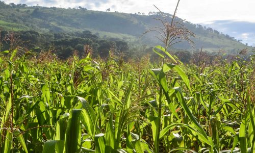Angola plans to increase corn production…
