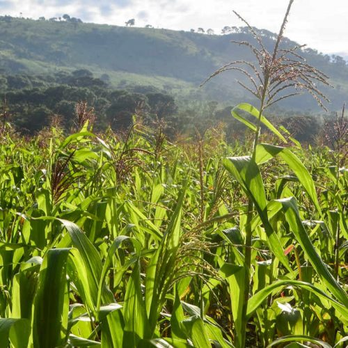 Millers seek to export 10,000tn maize bran