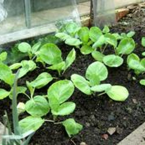 How to grow spring cabbage from seed