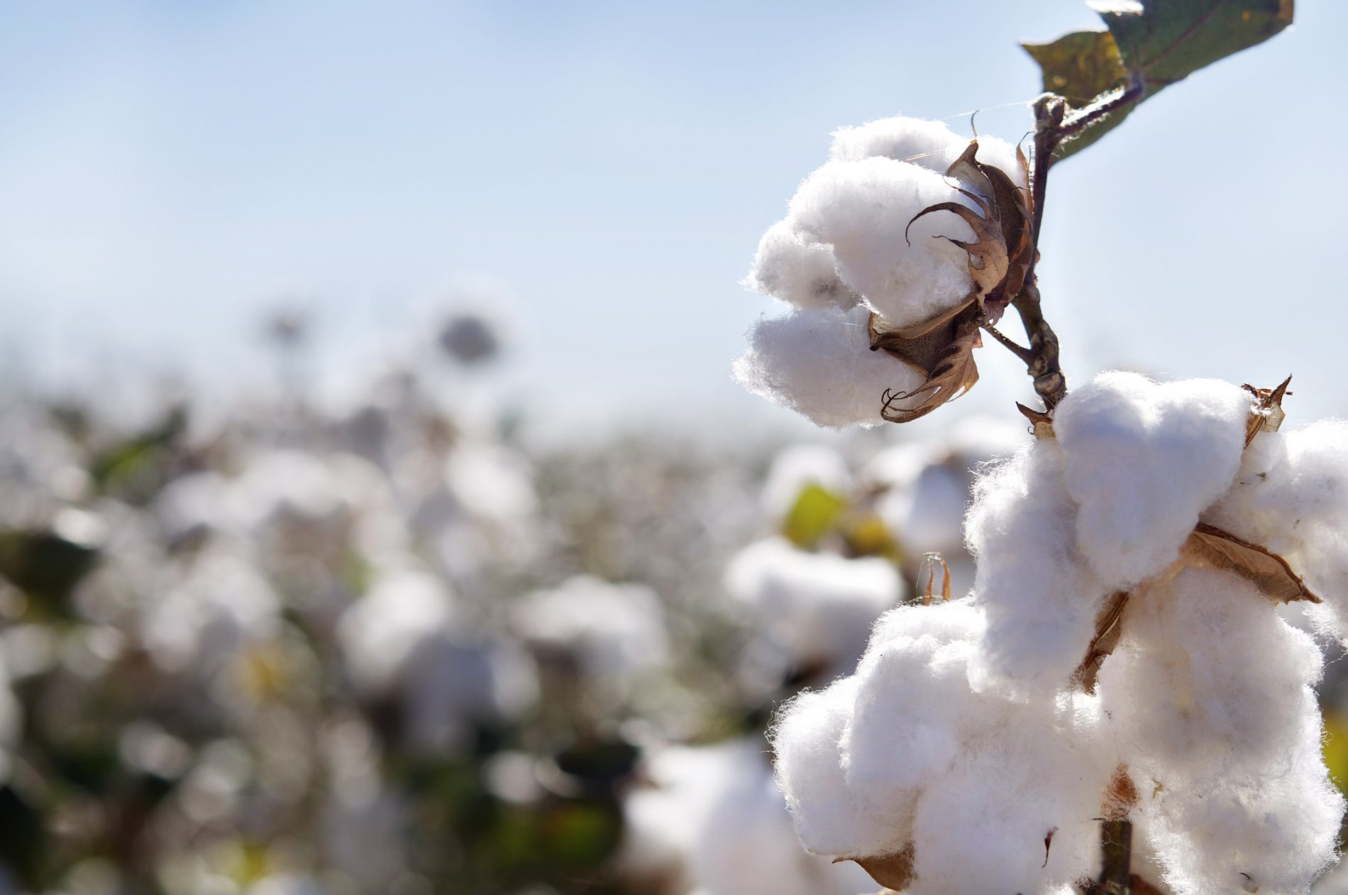 Government told to address cotton production challenges