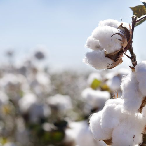 Collect your seed now – cotton association
