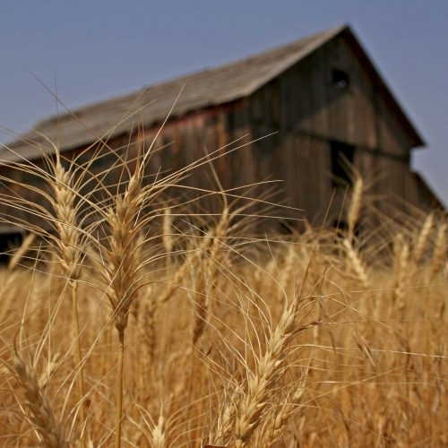 Millers Moan High Local Wheat Prices