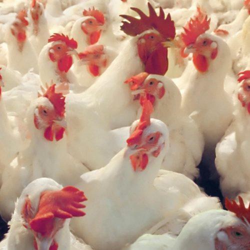 Ross Breeders Zambia Launch Supreme Chicken Abattoir
