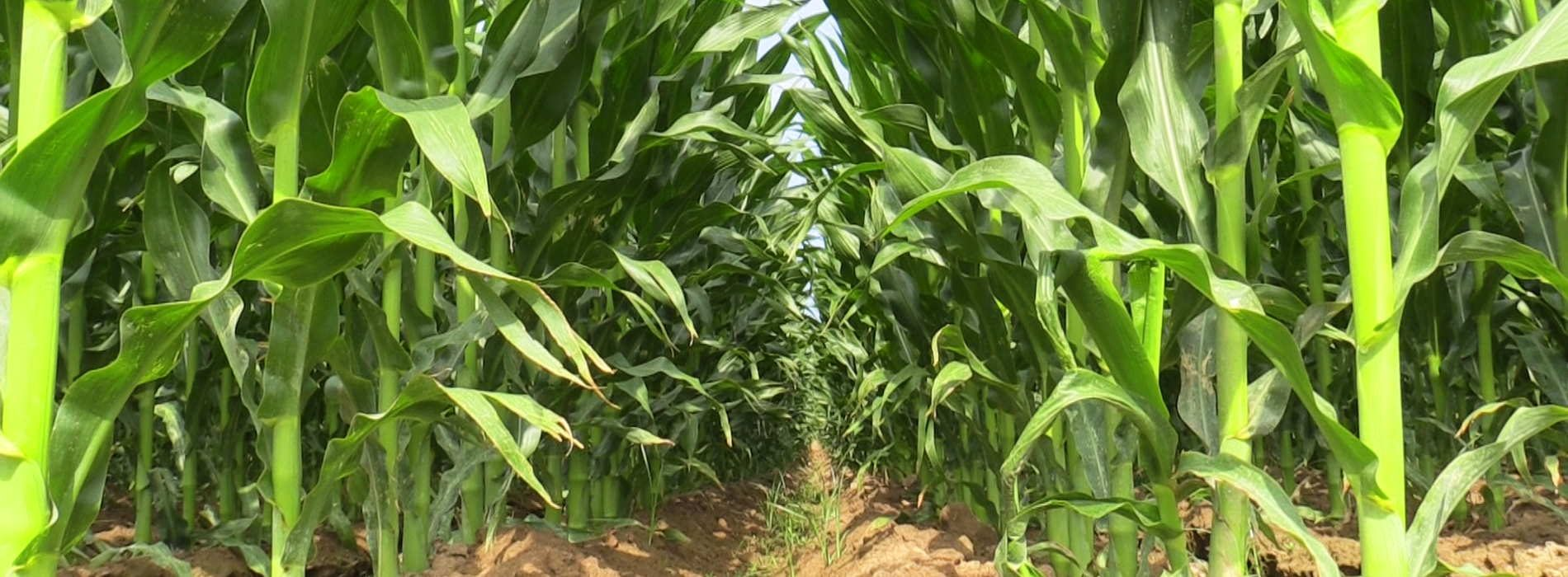 SA farmers plan to raise maize farmland by 26.5%