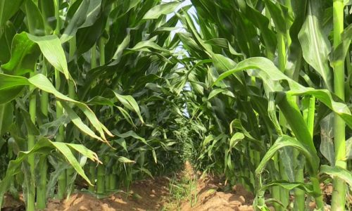 FRA on track to meet maize target