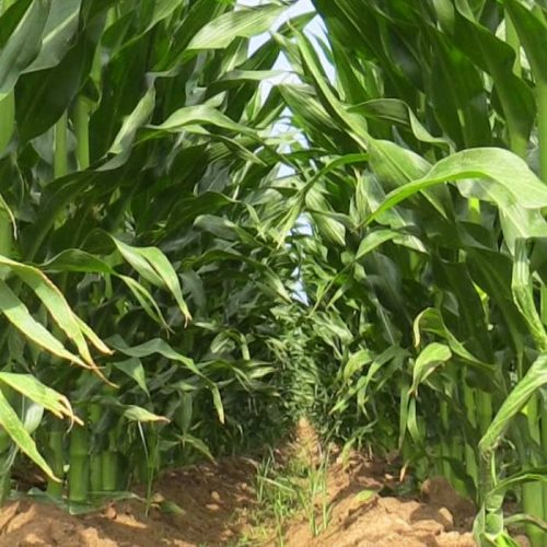 Zambeef paves way to winter maize harvesting