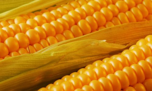Maize cultivation gets boost in Tanzania