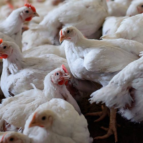 Poultry farmers on warehouse receipt system