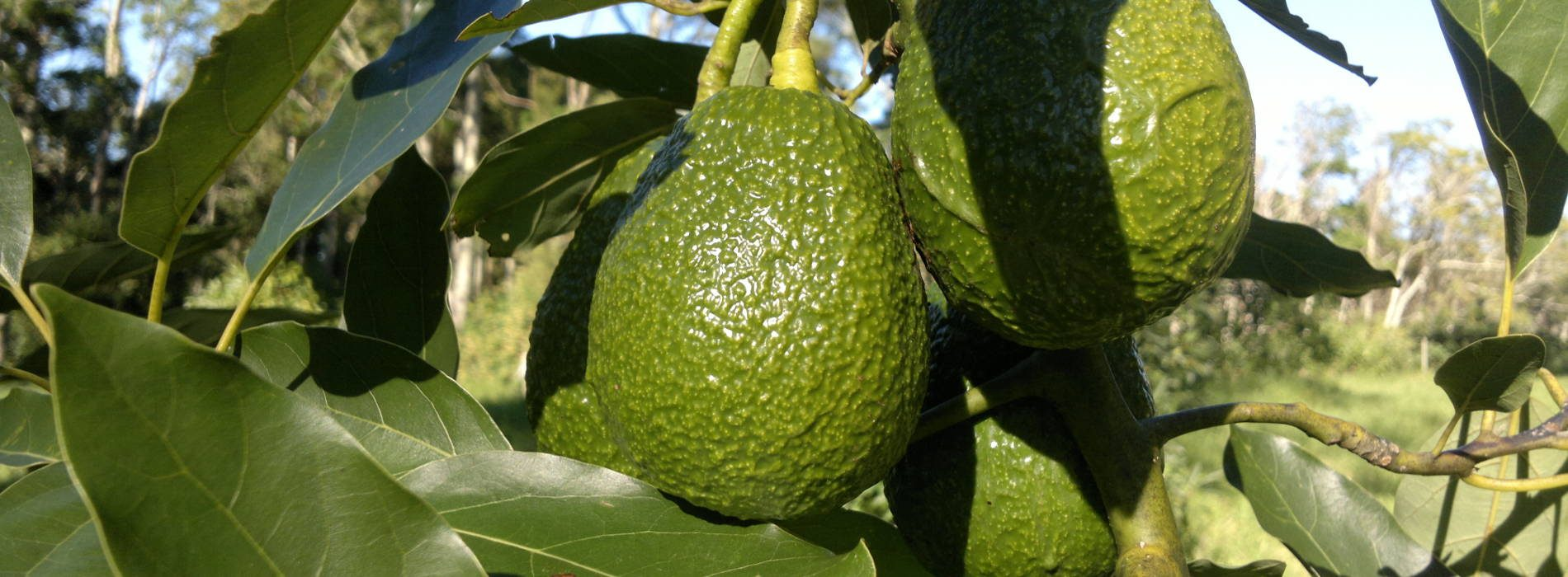 Mozambique commence avocados export to EU