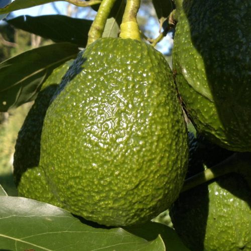 Mozambique to export avocados to Europe