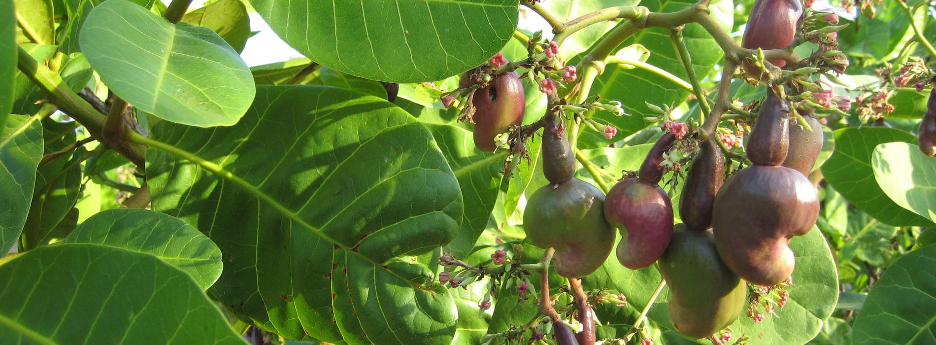 Mozambique increase cashew nuts produce