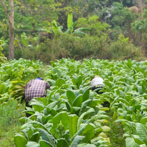 Zambia to raise tobacco production to 30 MT in 2017