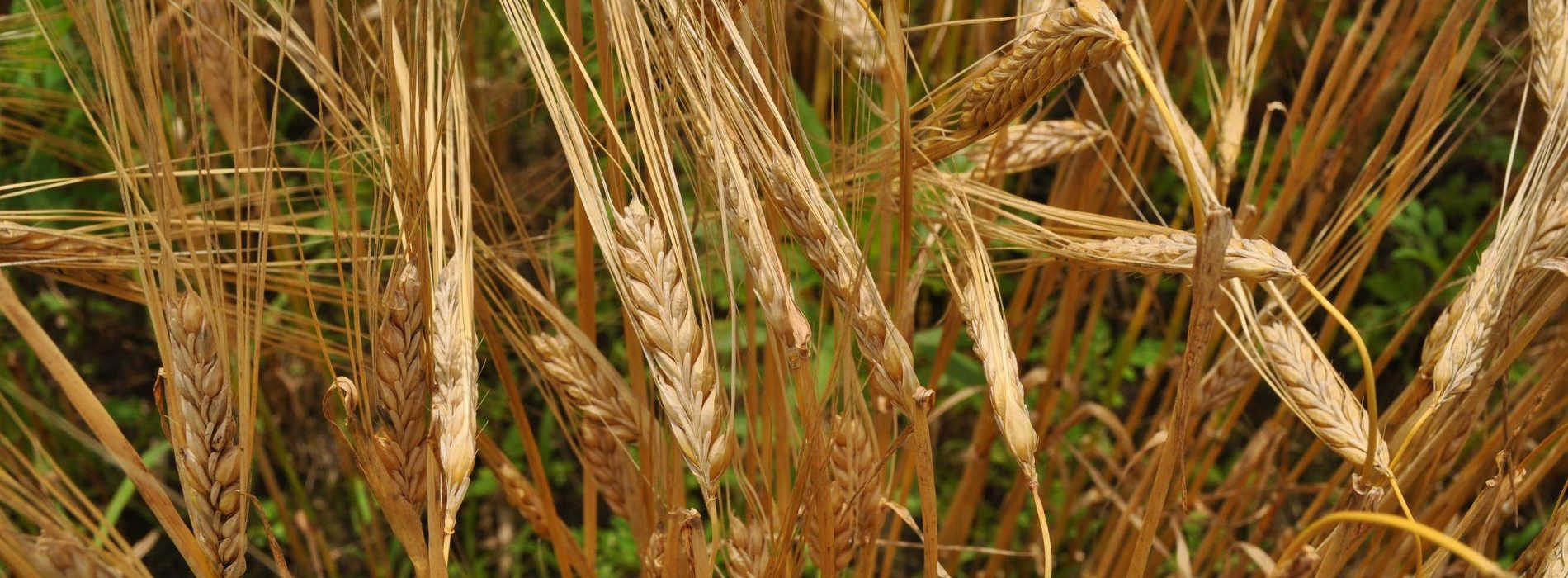 Zambian Breweries supports barley farmers