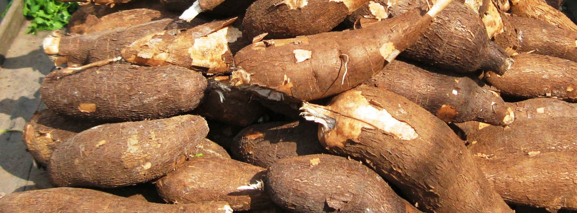 Cassava, the next premier crop