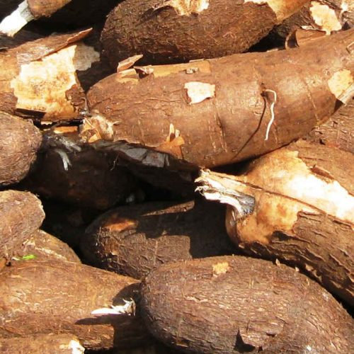 Cassava collection made easy in Mansa
