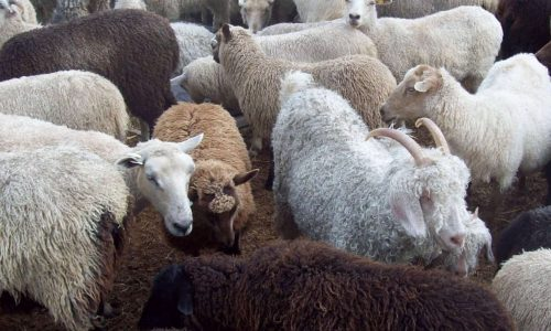 Government eyes Saudi Arabia for small livestock exports