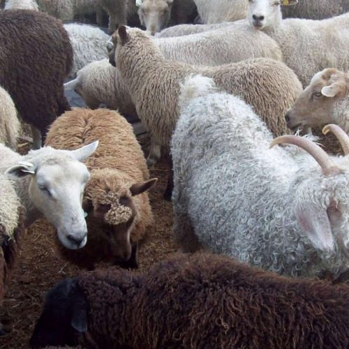 State announce plans to boost goats, sheep stock