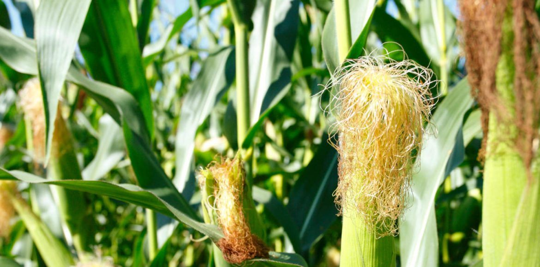 Zambia, Tanzania to post maize surplus again