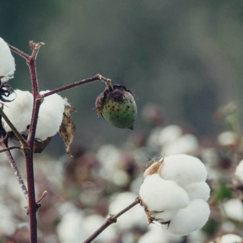 Tobacoo, Cotton leads exports to Indonesia
