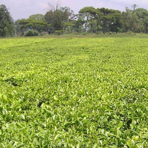 ZAFFICO plans to make Kawambwa Tea competitive