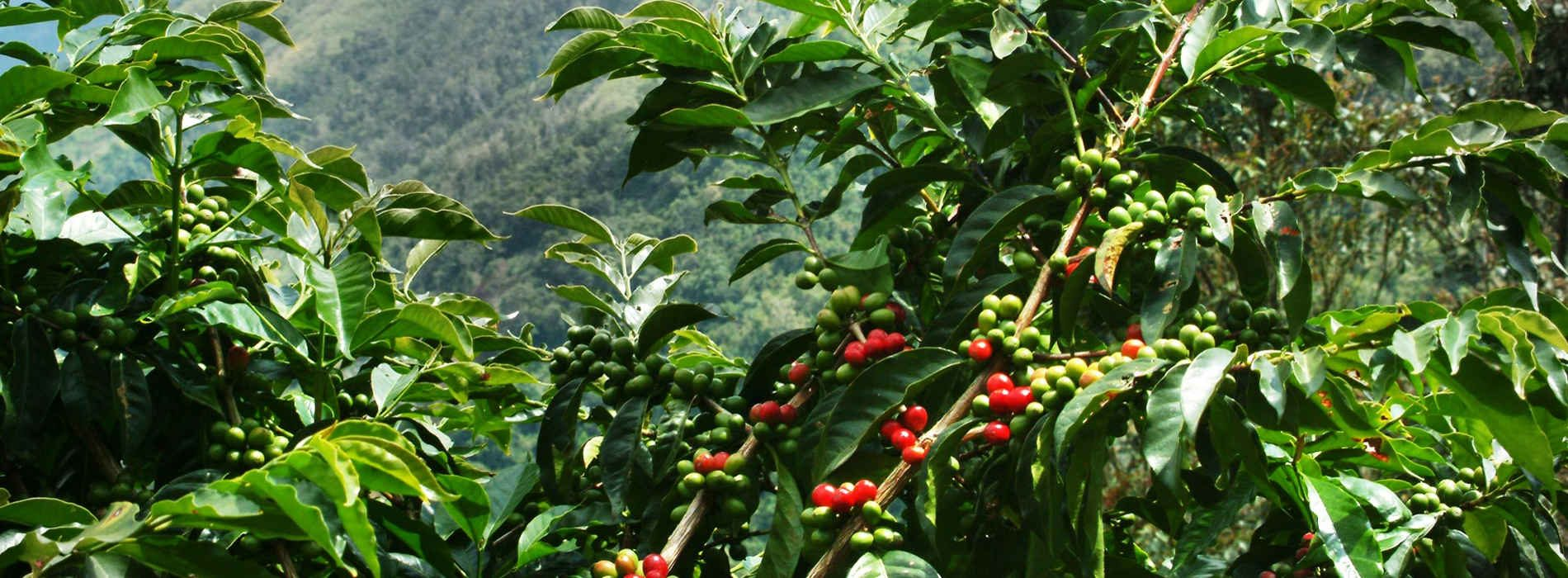 Coffee plantation to create jobs for Chingola