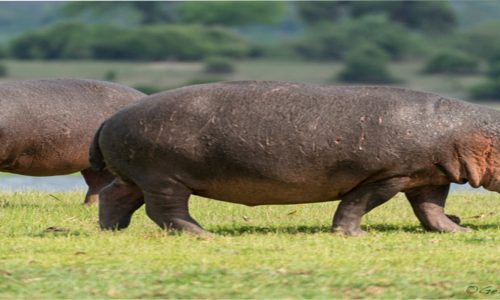 Hippos bully Chadiza residents.