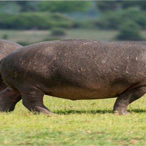 Hippos bully Chadiza residents.