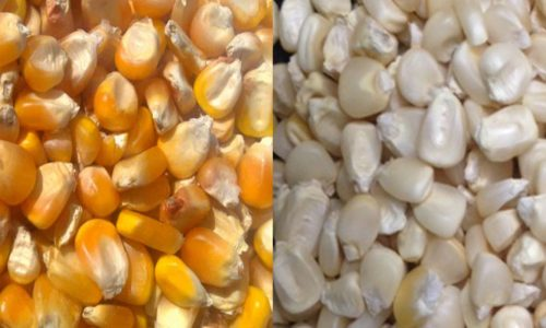Suspected GMO grains in transit stopped for lab tests in Zambia