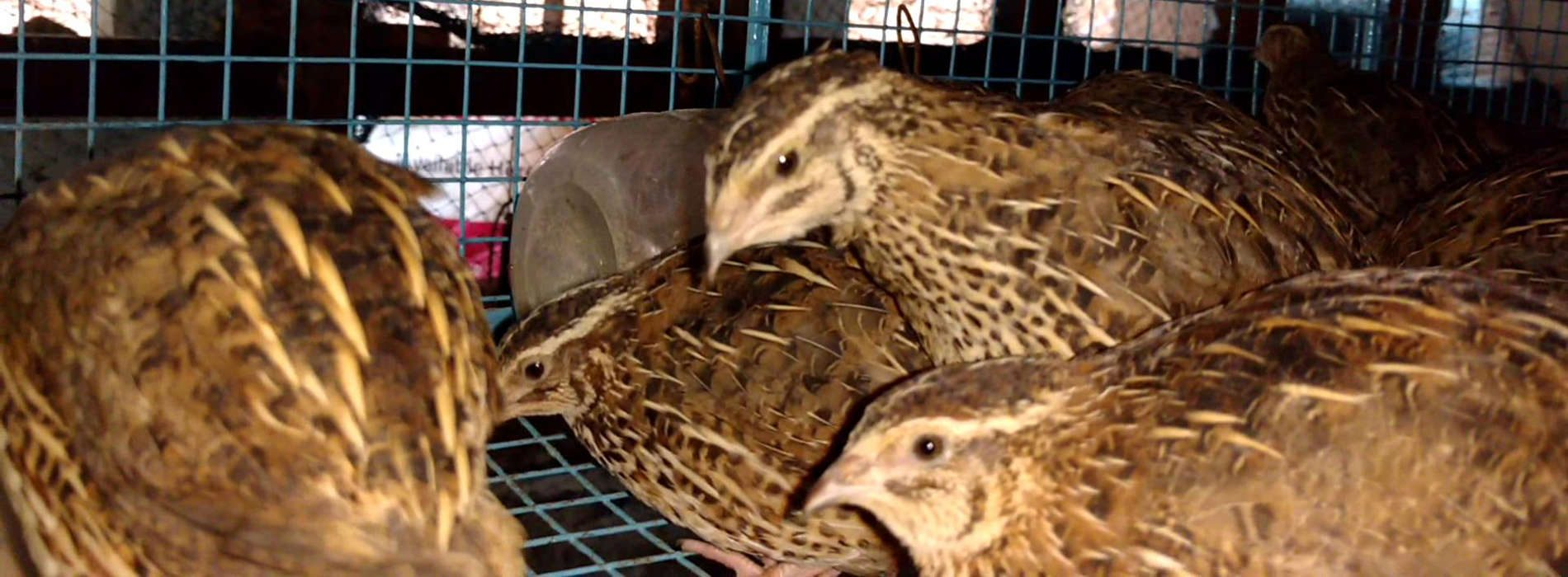 Insurance man takes unique path in quail farming, and he's winning