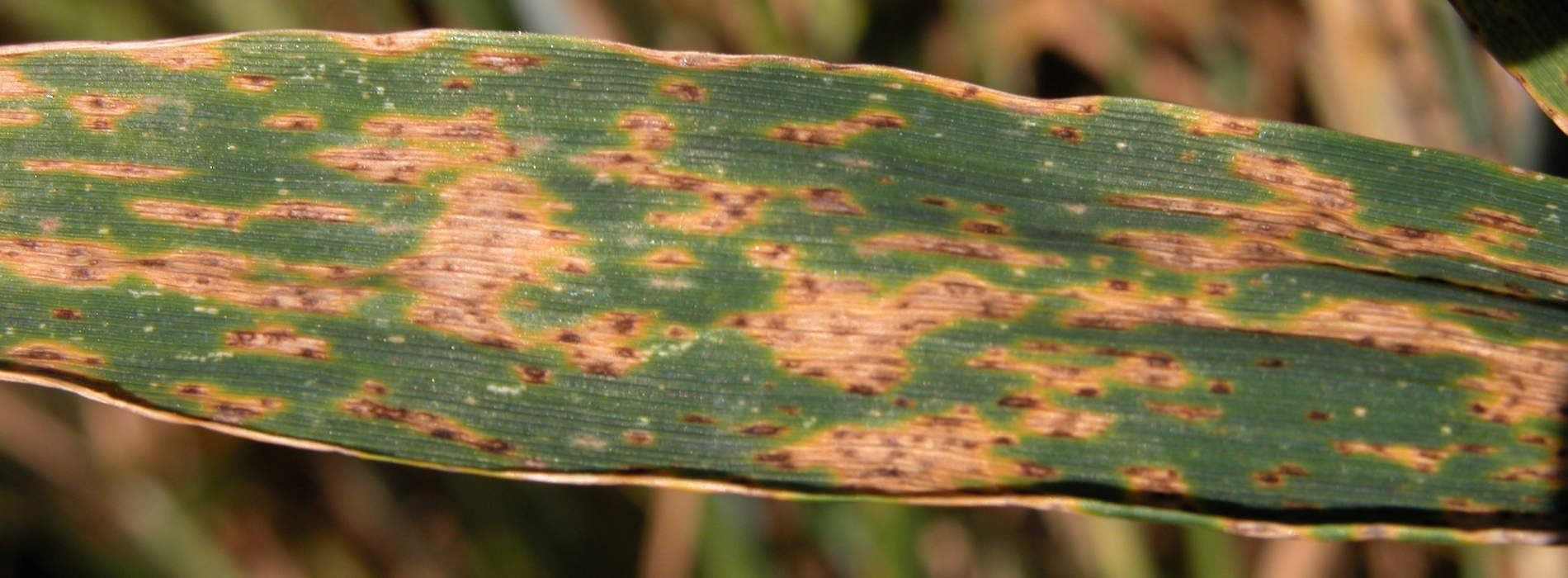 Septoria hits Copperbelt wheat farmers