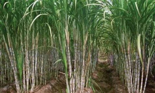 Zambia Sugar fails to declare dividends on high debt levels