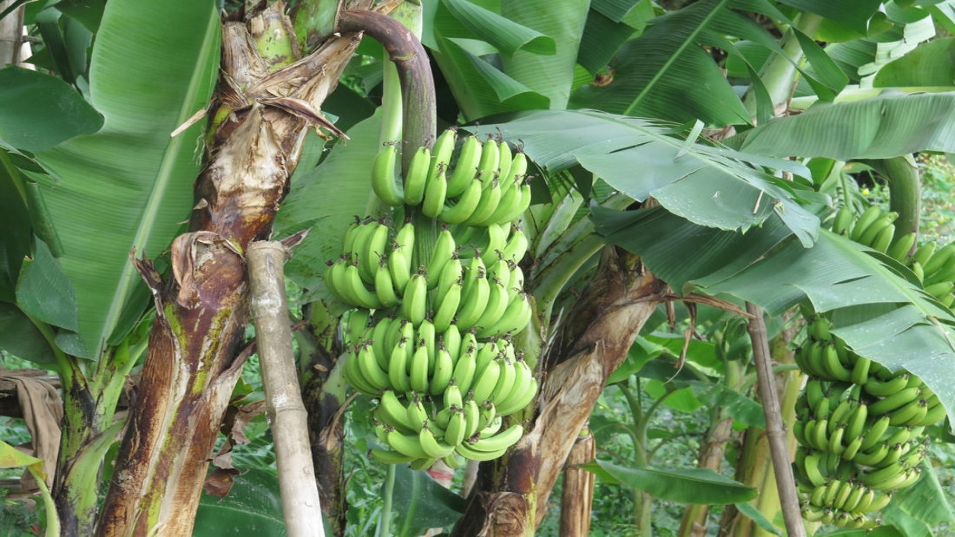 Zimbabwe agrees to Moza, Zambia bananas deal