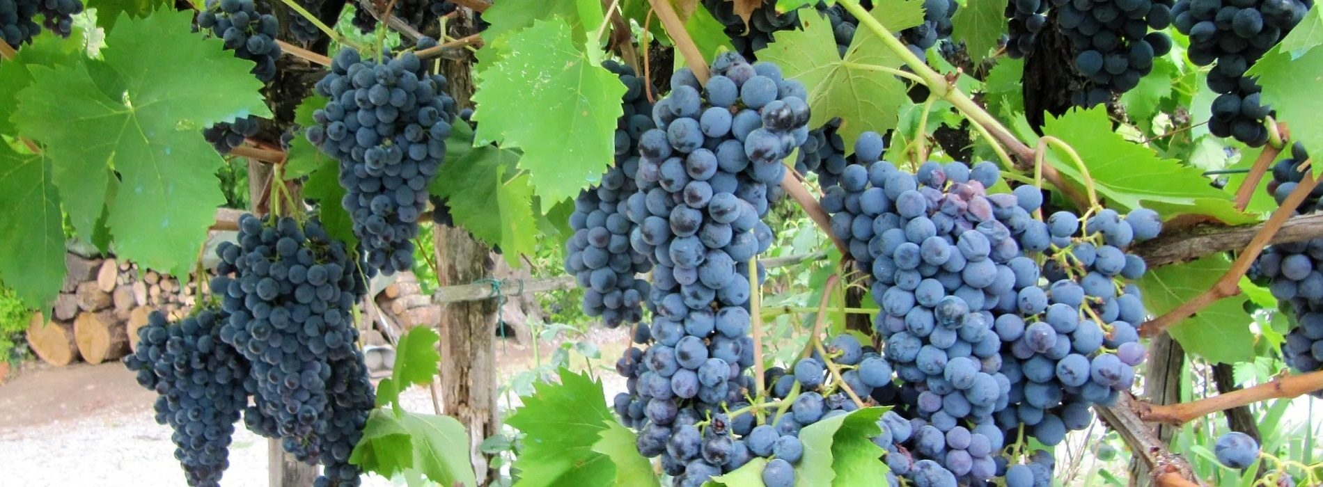 Grapes Indaba convenes in Italy