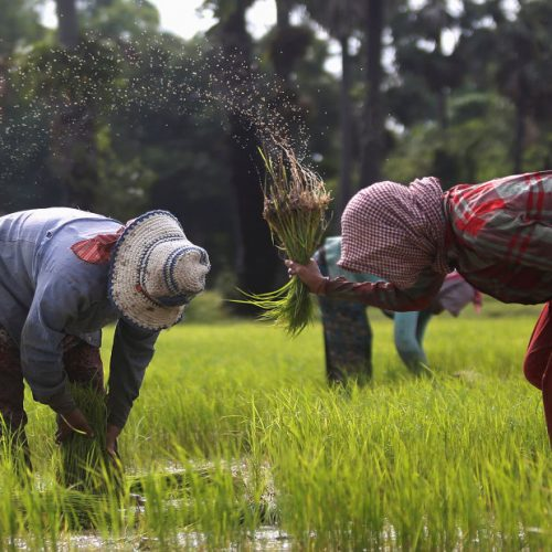 Importation of rice deprive local industry growth-Farmers