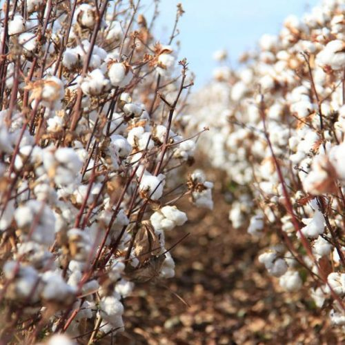 Cotton Industry has potential-CBZ