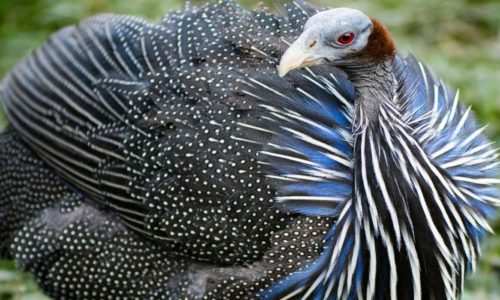 Why African farmers are waking up to the huge potential of guinea fowl