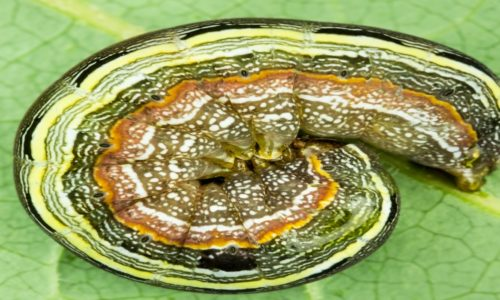 Facing down the armyworm pest