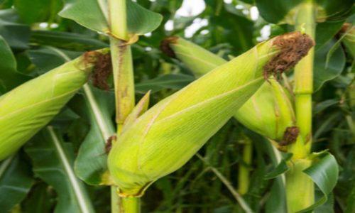 FQMS CONSERVATION FARMERS PROJECT A BUMPER HARVEST