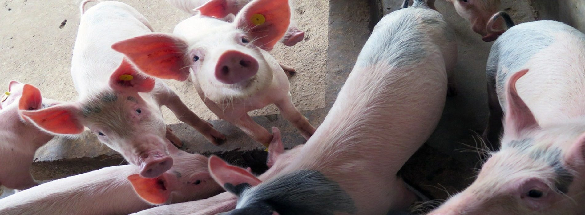 Swine fever outbreak detected on farm in South Africa
