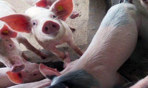 Swine fever outbreak detected on farm in South Africa
