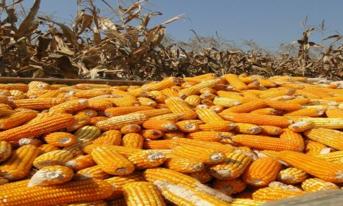 Zambia, SA expecting record maize harvest