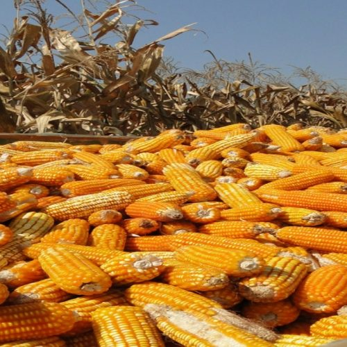 Zambia, SA expecting record maize harvest