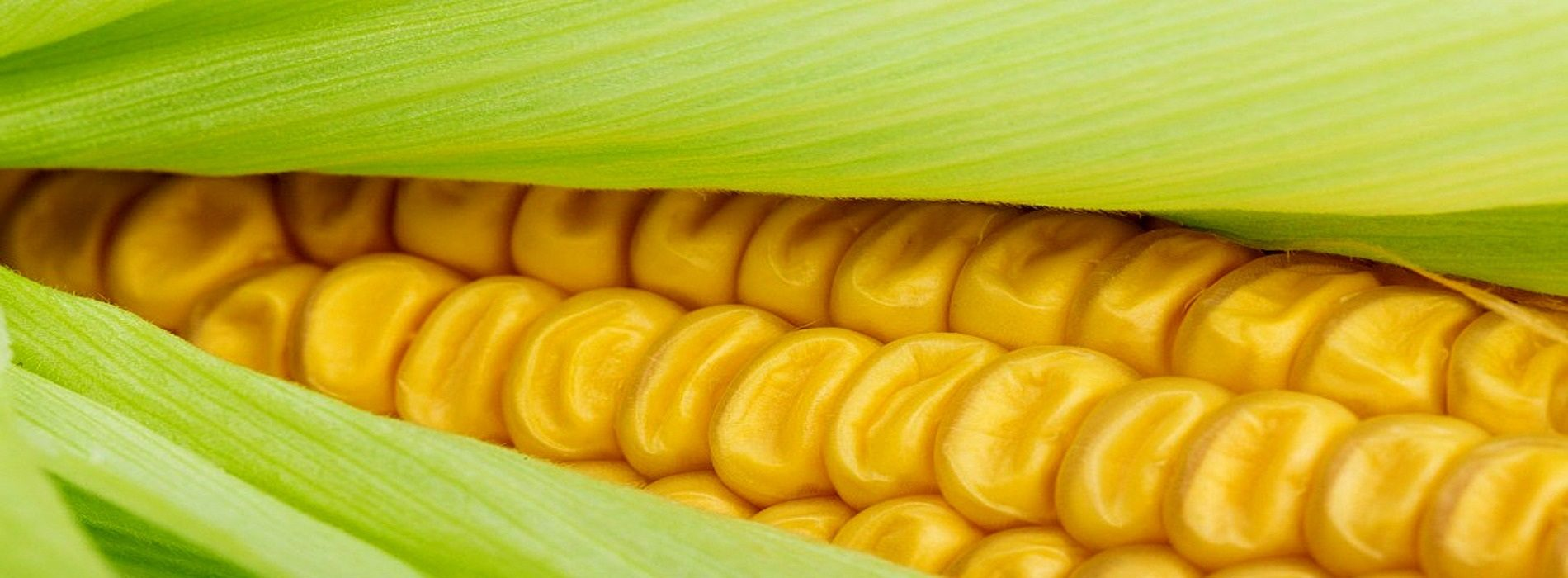 Zambia returns to maize bumper harvest