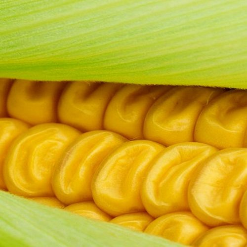 Zambia returns to maize bumper harvest
