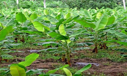 IDC pours funds to facelift Mununshi banana estate