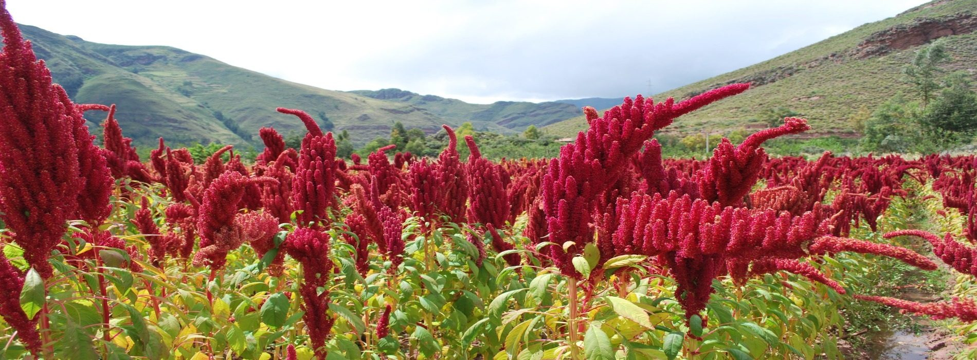 Quinoa Scheme an opportunity for diversification, says Amatheon Zambia