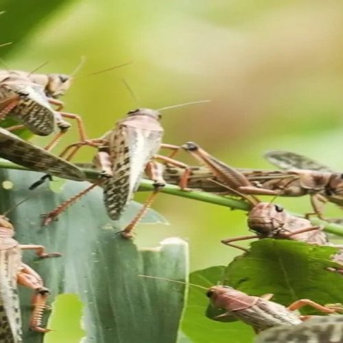Zambia undertaking a comprehensive surveillance exercise on African migratory locusts
