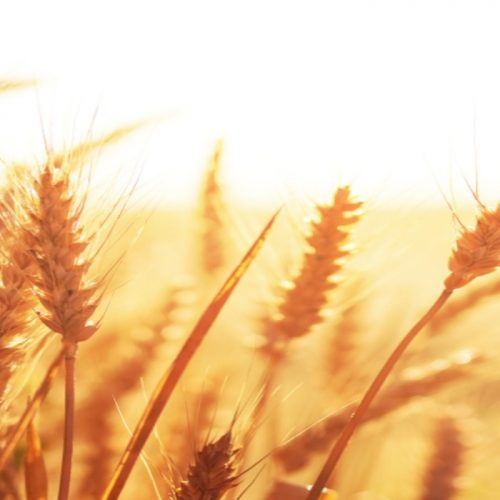 Detection of Wheat Blast in Zambia threatens Africa's wheat production-Experts